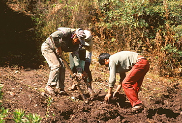 Plowing field using a traditional Incan digging stick in fields near Cuzco, Andes Mountains, Highlands, Peru