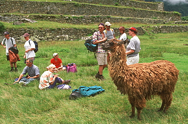 Llamas with tourists at Machu Picchu the ancient city of the Inca, Andes Mountains, Highlands, Peru