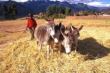 A farmer using his donkey team to thresh barley on his farm near Maras on plateau above the Sacred Valley, north of Cuzco, Highlands, Peru
