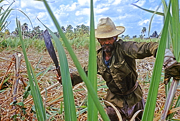 Farmer cutting sugarcane on a plantation near Habana Libre in central Cuba, Cuba