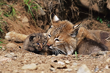 Bobcat  (Lynx nufus) mother with 21 day old kittens, in captivity, Sandstone, Minnesota, United States of America, North America