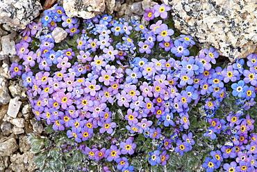 Alpine forget-me-not (Eritrichium nanum), Mount Evans, Colorado, United States of America, North America