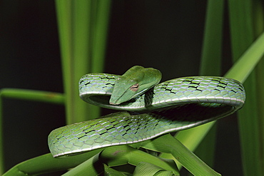 Long-nose vine snake (Ahaetulla prasina), in captivity, from Southeast Asia, Asia