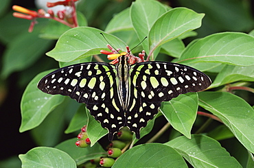 Green jay butterfly (Graphium agamemnon), from the Philippines, in captivity, Chesterfield, Missouri, United States of America, North America