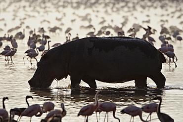 Hippopotamus (Hippopotamus amphibius) in shallow water among lesser flamingos (Phoeniconaias minor), Lake Nakuru National Park, Kenya, East Africa, Africa