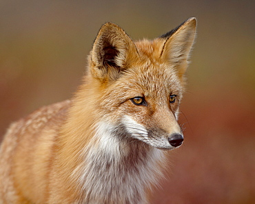 Red fox (Vulpes vulpes) (Vulpes fulva), Denali National Park and Preserve, Alaska, United States of America, North America