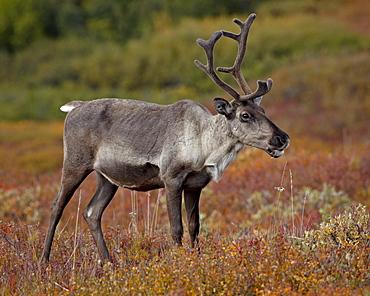 Porcupine caribou (Grant's caribou) (Rangifer tarandus granti) cow, Denali National Park, Alaska, United States of America