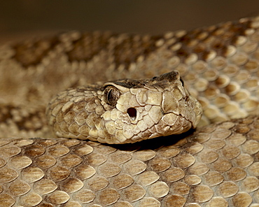 Northern Mojave Rattlesnake (Crotalus scutulatus scutulatus) in captivity, Arizona Sonora Desert Museum, Tucson, Arizona, United States of America, North America