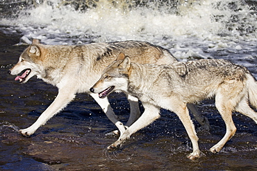 Two gray wolves (Canis lupus) running through water, in captivity, Minnesota Wildlife Connection, Minnesota, United States of America, North America