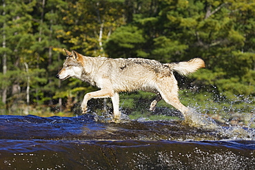 Gray wolf (Canis lupus) running through water, in captivity, Minnesota Wildlife Connection, Sandstone, Minnesota, United States of America, North America