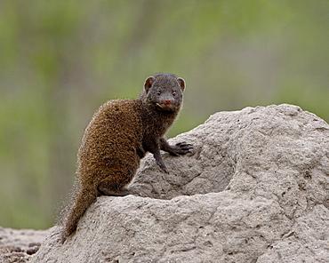 Young Dwarf Mongoose (Helogale parvula), Kruger National Park, South Africa, Africa