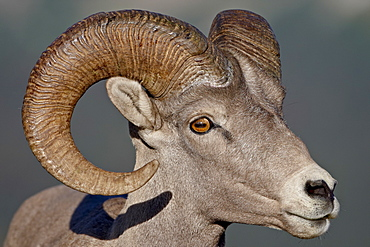 Bighorn sheep (Ovis canadensis) ram, Glacier National Park, Montana, United States of America, North America
