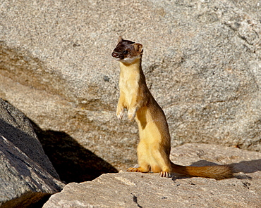 Stoat (Short-tailed weasel) (Mustela erminea), Mount Evans, Colorado, United States of America, North America