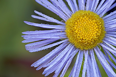 Showy daisy (Erigeron speciosus), Glacier National Park, Montana, United States of America, North America