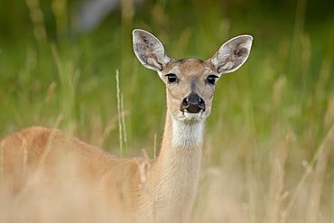 Whitetail deer (Odocoileus virginianus) doe, Stillwater County, Montana, United States of America, North America