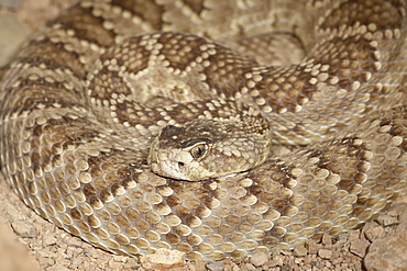 Western diamond-back rattlesnake (Western diamondback Rattlesnake) (Crotalus atrox) in captivity, Arizona Sonora Desert Museum, Tucson, Arizona, United States of America, North America