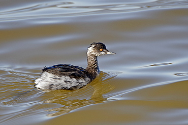 Eared Grebe (Podiceps nigricollis) floating, Sonny Bono Salton Sea National Wildlife Refuge, California, United States of America, North America