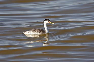 Clark's Grebe (Aechmophorus clarkii) floating, Sonny Bono Salton Sea National Wildlife Refuge, California, United States of America, North America