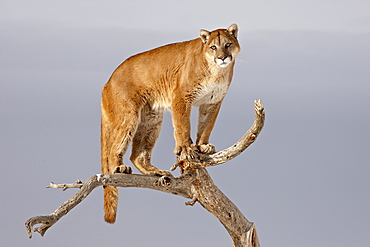 Mountain Lion (Cougar) (Felis concolor) in a tree in the snow, in captivity, near Bozeman, Montana, United States of America, North America