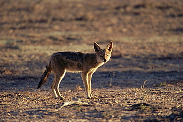 Black-backed jackal (Canis mesomelas), Kgalagadi Transfrontier Park, South Africa, Africa