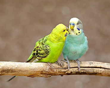 Two Budgerigars (common pet parakeet) (shell parakeet) (Melopsittacus undulatus) in captivity, Rio Grande Zoo, Albuquerque Biological Park, Albuquerque, New Mexico, United States of America, North America