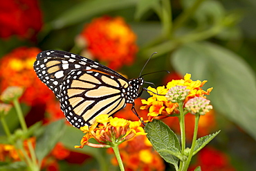 Monarch butterfly (Danaus plexippus) in captivity, Butterfly World and Gardens, Coombs, British Columbia, Canada, North America