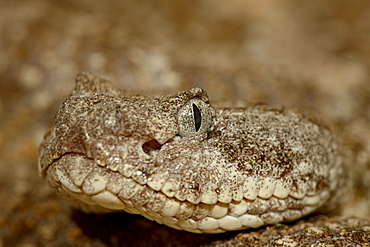 Speckled rattlesnake (Crotalus mitchellii) in captivity, Arizona Sonora Desert Museum, Tucson, Arizona, United States of America, North America