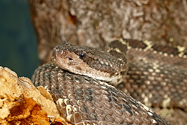 Arizona black rattlesnake (Crotalus cerberus) in captivity, Arizona Sonora Desert Museum, Tucson, Arizona, United States of America, North America