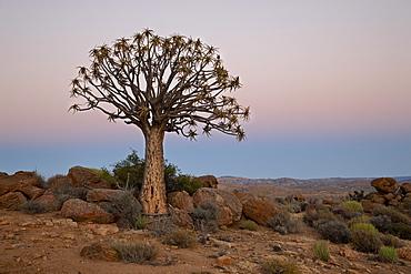 Quiver Tree (Kokerboom) (Aloe dichotoma) at dawn, Namakwa, South Africa, Africa
