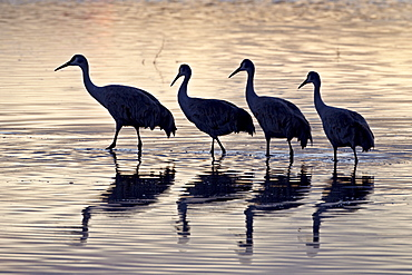 Line of four Sandhill crane (Grus canadensis) in a pond silhouetted at sunset, Bosque Del Apache National Wildlife Refuge, New Mexico, United States of America, North America