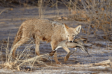 Coyote (Canis latrans) with a NorthernpPintail (Anas acuta) in its mouth, Bosque Del Apache National Wildlife Refuge, New Mexico, United States of America, North America