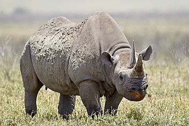 Black rhinoceros (hook-lipped rhinoceros) (Diceros bicornis), Ngorongoro Crater, Tanzania, East Africa, Africa