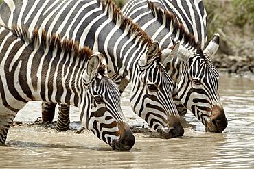 Three common zebra (Burchell's zebra) (Equus burchelli) drinking, Ngorongoro Crater, Tanzania, East Africa, Africa