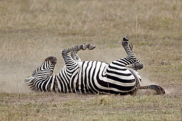 Common zebra (Burchell's zebra) (Equus burchelli) dust bathing, Ngorongoro Crater, Tanzania, East Africa, Africa