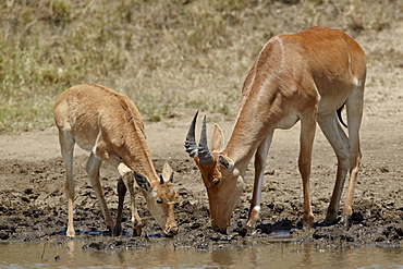 Adult and young Coke's hartebeest (Alcelaphus buselaphus cokii) drinking, Serengeti National Park, UNESCO World Heritage Site, Tanzania, East Africa, Africa