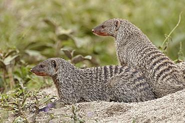 Two banded mongoose (Mungos mungo), Serengeti National Park, Tanzania, East Africa, Africa