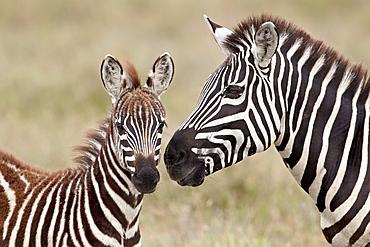 Common zebra or Burchell's zebra (Equus burchelli) foal and mare, Serengeti National Park, Tanzania, East Africa, Africa