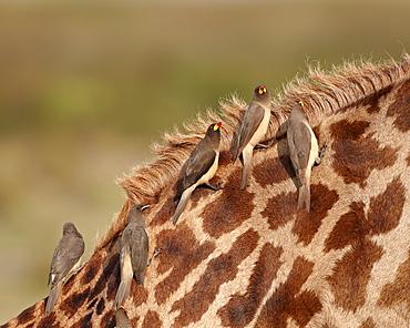 Several yellow-billed oxpecker (Buphagus africanus) on a Masai giraffe (Giraffa camelopardalis tippelskirchi), Serengeti National Park, Tanzania, East Africa, Africa