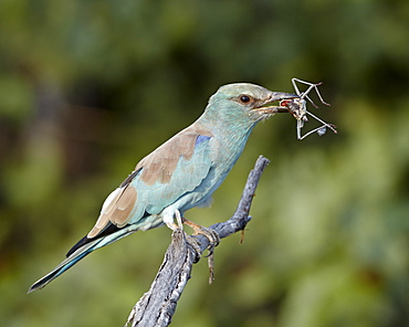 European roller (Coracias garrulus) with an insect, Kruger National Park, South Africa, Africa