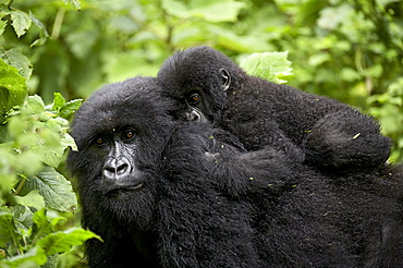 Adult female mountain gorilla (Gorilla gorilla beringei) with infant riding on her back, Amahoro A group, Volcanoes National Park, Rwanda, Africa