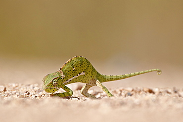 Flap-necked chameleon (Chamaeleo dilepis), Kruger National Park, South Africa, Africa