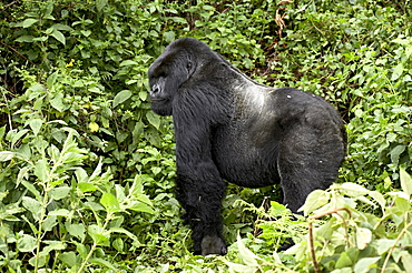 Silverback mountain gorilla (Gorilla gorilla beringei) standing in profile, Shinda group, Volcanoes National Park, Rwanda, Africa