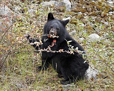 Black bear (Ursus americanus) cub eating Canadian gooseberry berries, Jasper National Park, Alberta, Canada, North America