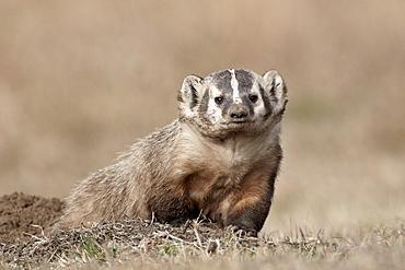 Badger (Taxidea taxus), Custer State Park, South Dakota, United States of America, North America