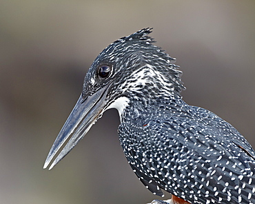 Giant kingfisher (Megaceryle maxima), Kruger National Park, South Africa, Africa