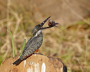 Giant kingfisher (Megaceryle maxima) with a fish, Kruger National Park, South Africa, Africa