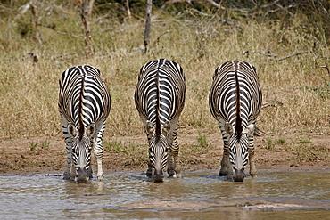 Three Chapman's zebra (Plains Zebra) (Equus burchelli antiquorum) drinking, Kruger National Park, South Africa, Africa