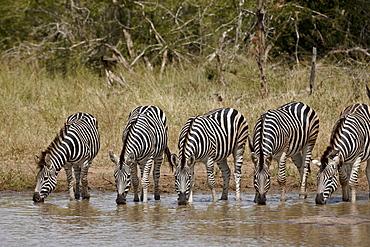 Five Chapman's zebra (Plains Zebra) (Equus burchelli antiquorum) drinking, Kruger National Park, South Africa, Africa