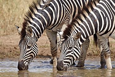 Two Chapman's zebra (Plains Zebra) (Equus burchelli antiquorum) drinking, Kruger National Park, South Africa, Africa