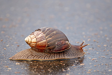 Panther agate snail (Achatina immaculata), Kruger National Park, South Africa, Africa